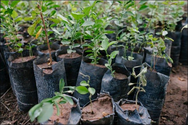 Jeunes plants prêts à être plantés